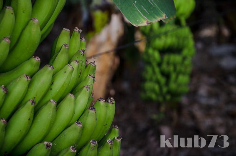 Banannenstaude